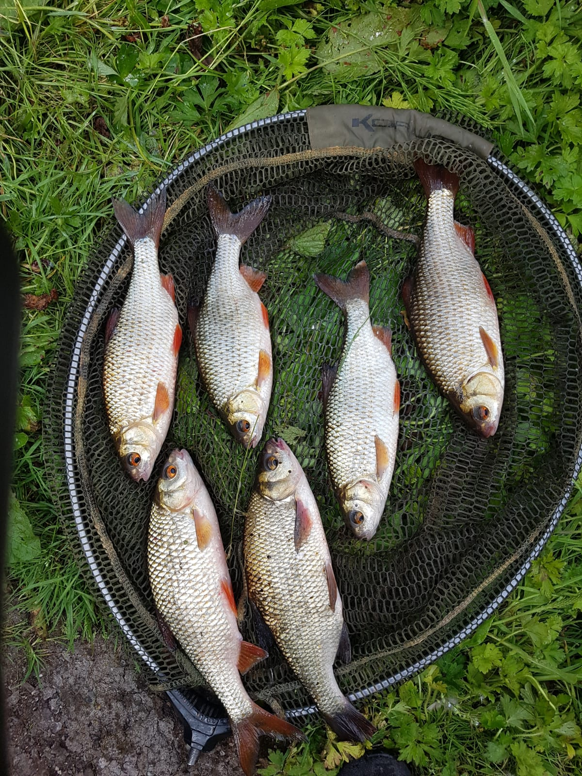 THE NEXT THREE PICTURES SHOW 7 x 1lb PLUS ROACH AND A 9lb MIRROR  CAUGHT BY JASON 14/07/18