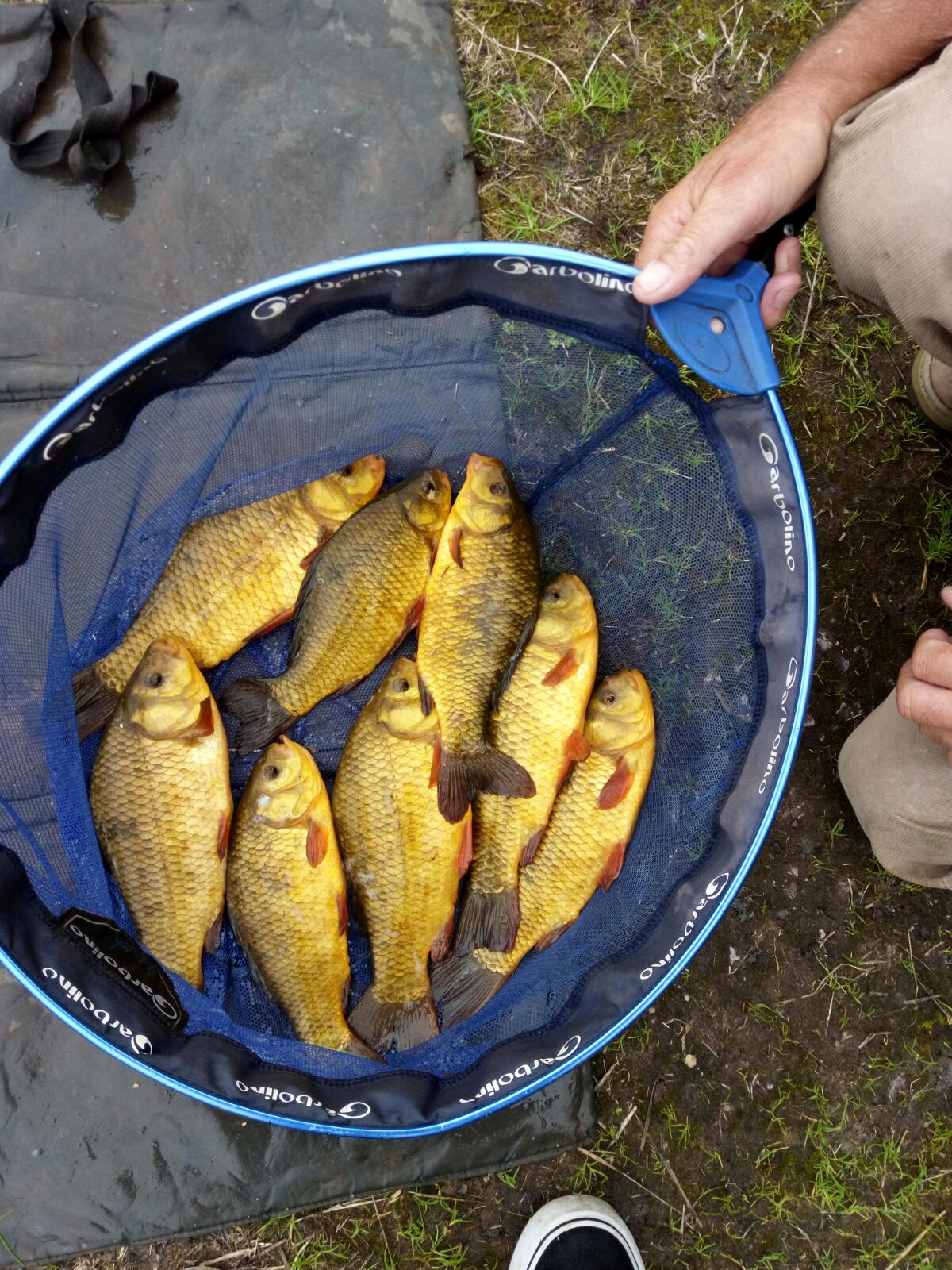 Net of crucian carp caught by Steve Weatherer  30/08/17