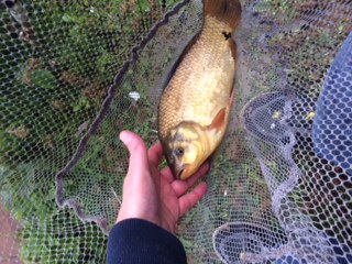 CRUCIAN CARP CAUGHT 31/5/17  BY MARK HANCOCK.