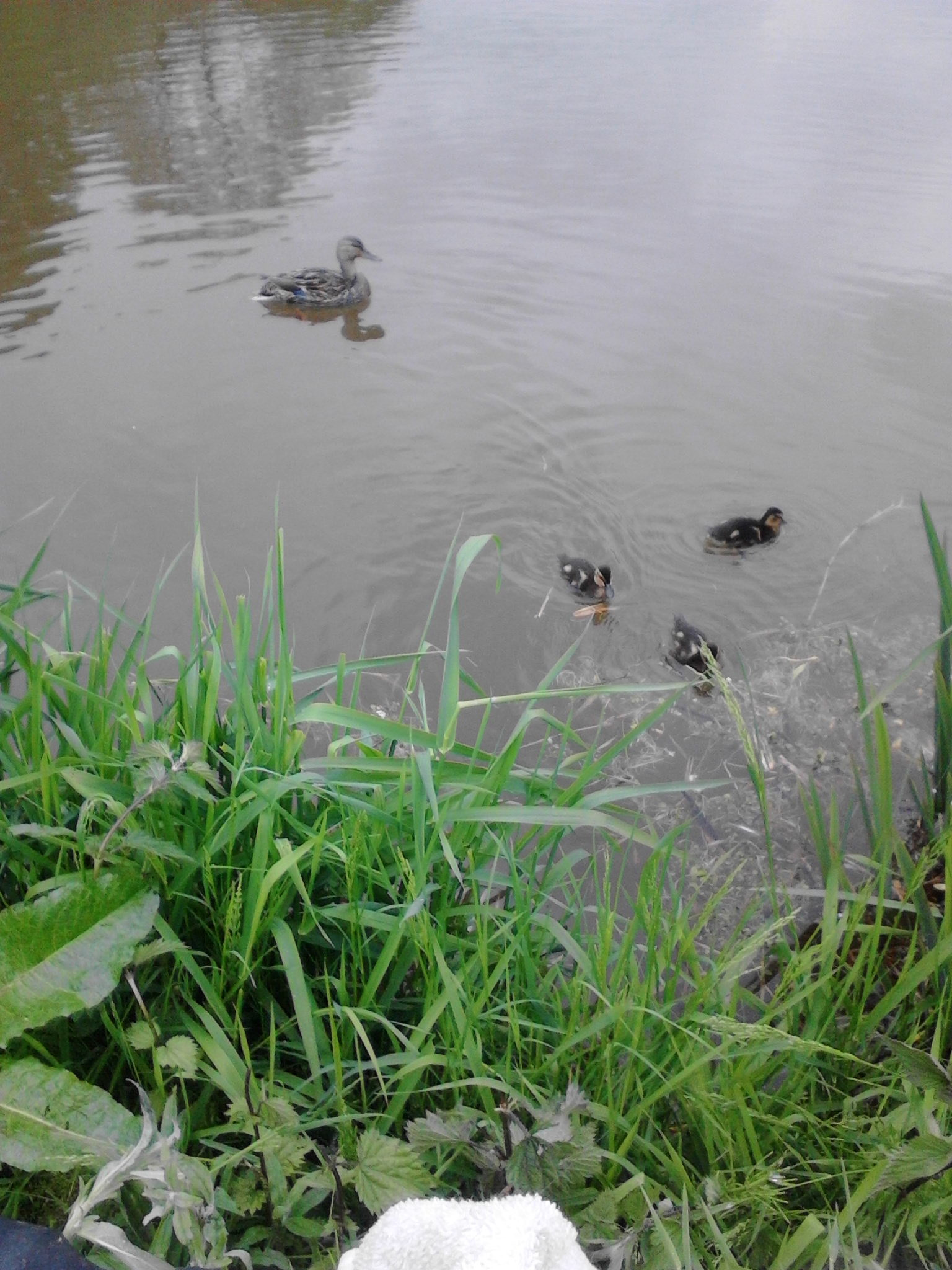 Three pictures taken by Steve Weatherer two 3lb 8oz bream and new baby ducks.