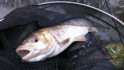CHUB CAUGHT ON 31/12/16 THE FISH TOOK BREAD PUNCH POLE FISHED ON 18s HOOK TO 2lb LINE.
