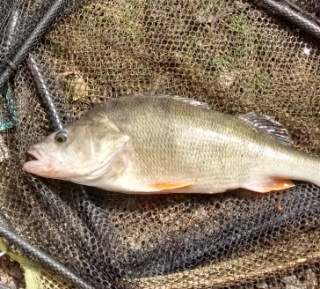 2lb perch caught by Terry Mosley  11/04/17.