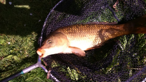 LARGE CARP CAUGHT ON BREAD PUNCH.