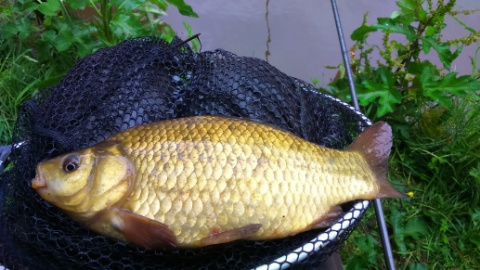 CRUCIAN CARP  CAUGHT 6/6/17 BY DAVE ON BREAD PUNCH.