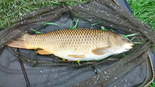 ONE OF THREE CARP CAUGHT BY TERRY MOSLEY 12lb 10lb AND 9lb   30/05/18