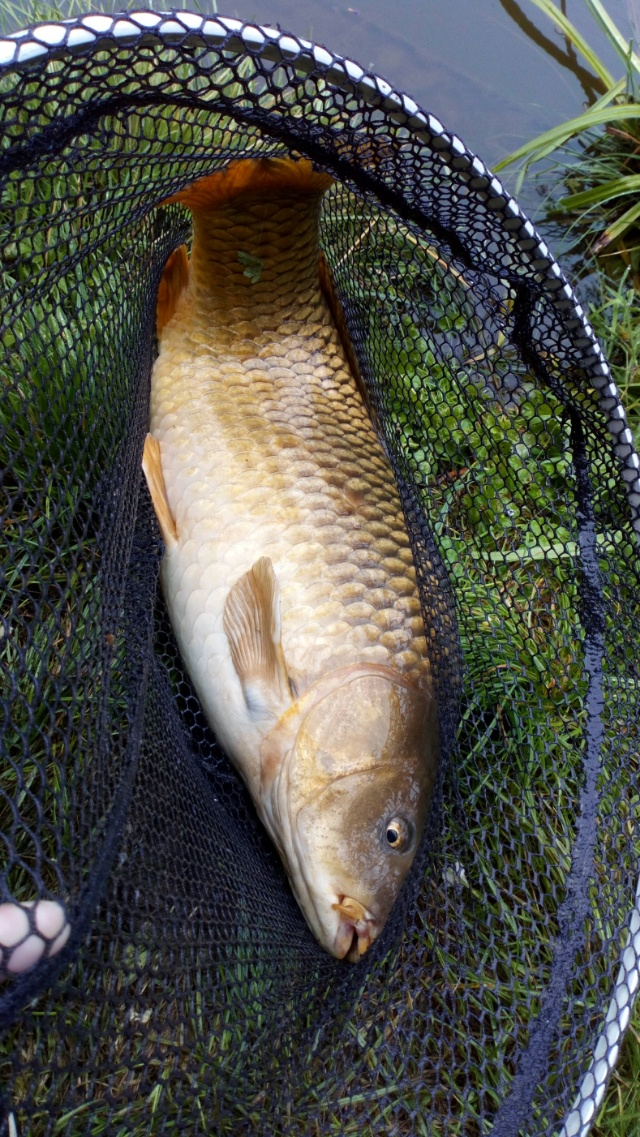 LARGE CARP CAUGHT ON BREAD PUNCH ON A  18S HOOK. 06/09/18