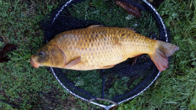 LARGE CARP CAUGHT ON BREAD PUNCH 8/9/18