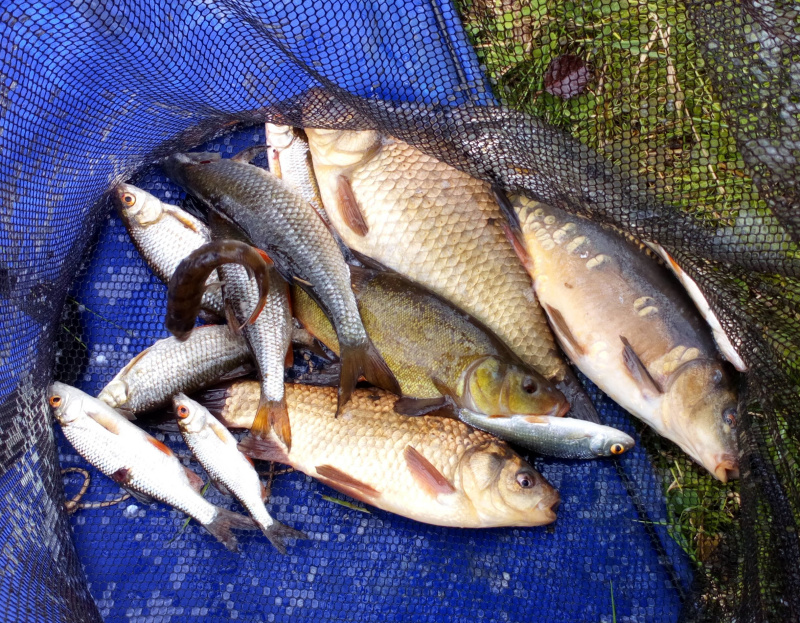 ROACH TENCH CRUCIAN AND MIRROR CARP CAUGHT ON PELLET.   30/06/19
