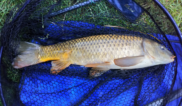 CARP CAUGHT ON BREAD PUNCH 30/07/19.