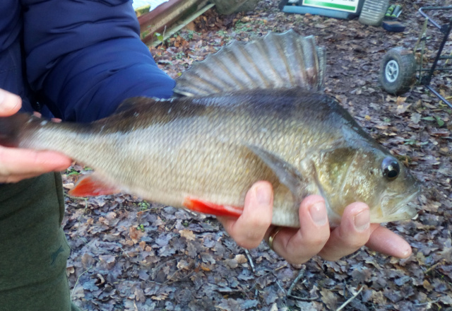 LARGE PERCH CAUGHT BY JASON .    18/01/20