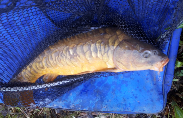 MIRROR CARP CAUGHT ON BREAD  BY DAVE. 18/02/20