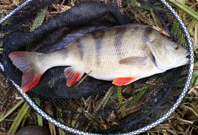 LARGE PERCH 3lb CAUGHT UP IN THE WATER ON CASTER BY DAVE. 19/03/20