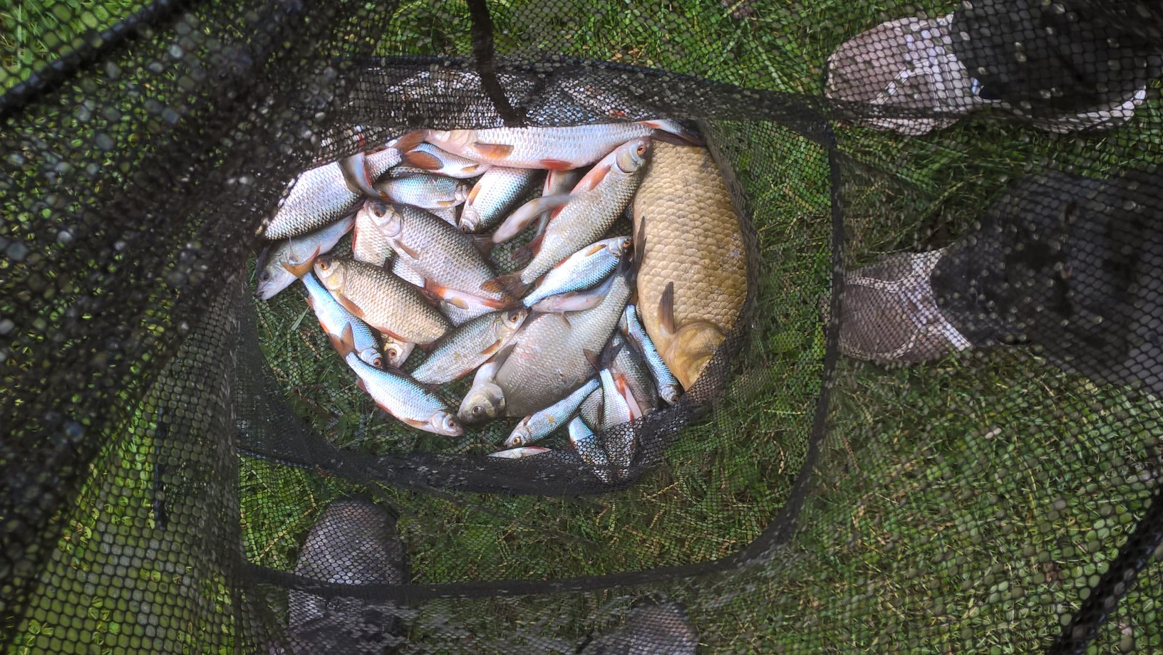 A net of roach and a nice crucian caught by Christopher Heames on 08/10/16.
