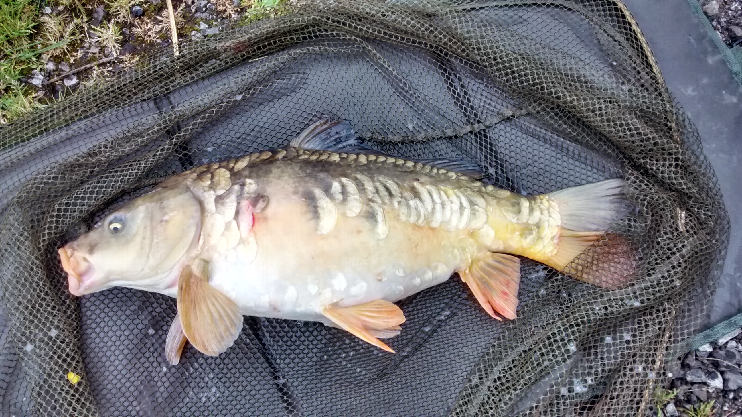 Carp 7lb 6oz. caught by Terry Mosley